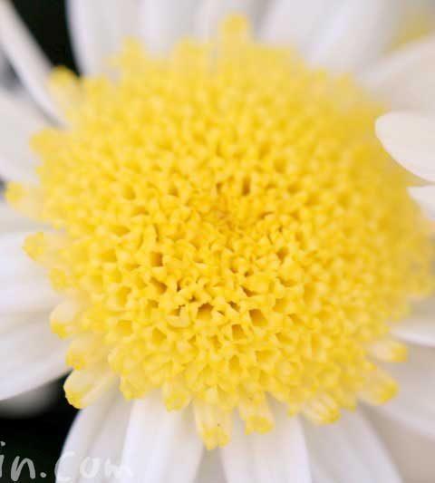 マーガレットの花の写真&花言葉&名前の由来