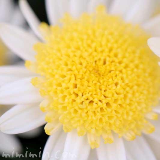 丁字咲きのマーガレットの写真と花言葉