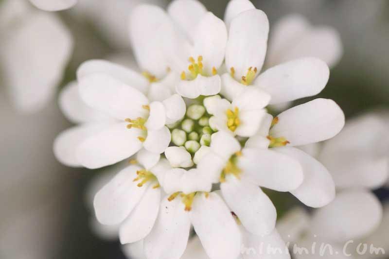 イベリス(白)の花の写真と花言葉