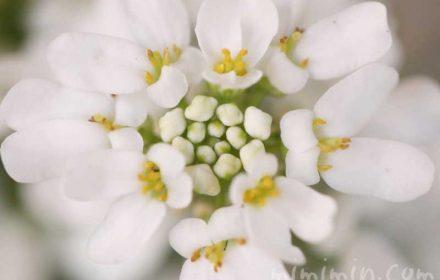 イベリス(白色)の写真と花言葉と誕生花
