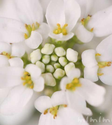 イベリスの花の写真・花言葉・名前の由来