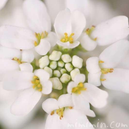 イベリス(白)の写真と花言葉と誕生花の画像