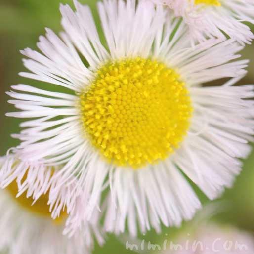 ハルジオンの花の写真と花言葉の画像