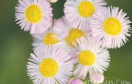 春紫菀の写真と花言葉の画像