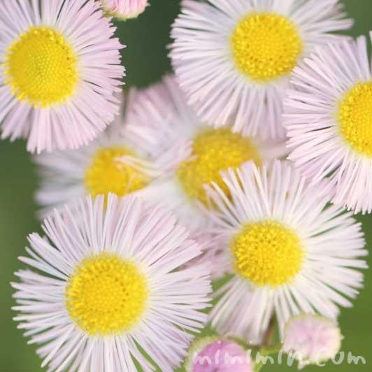 ハルジオンの写真と花言葉