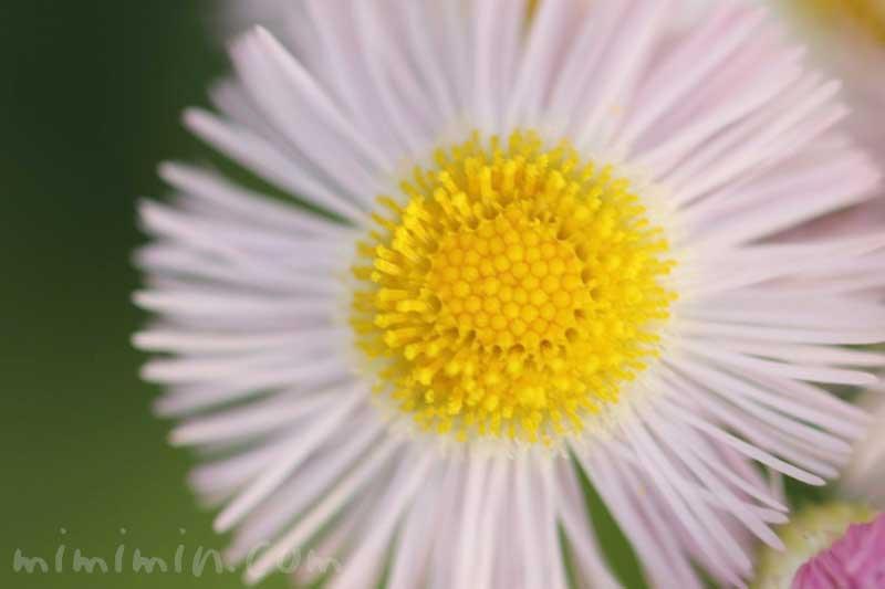 ハルジオンの写真と花言葉の画像