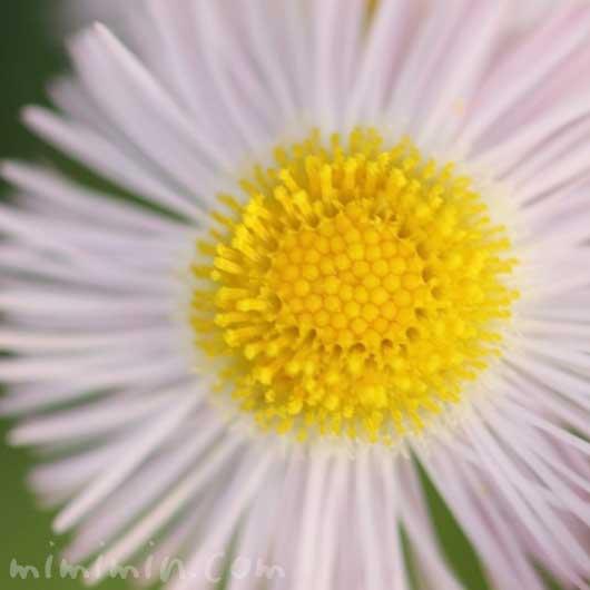 春紫菀の写真と花言葉