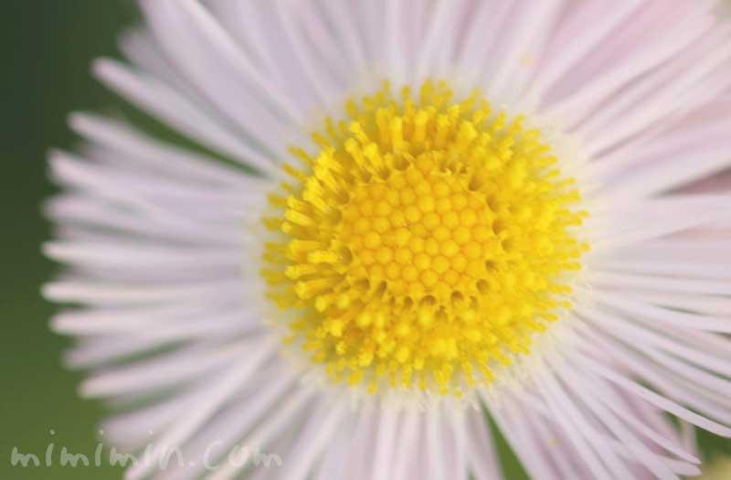 ハルジオンの花の写真と花言葉