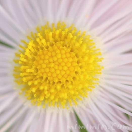 春紫菀の花の写真と花言葉の画像