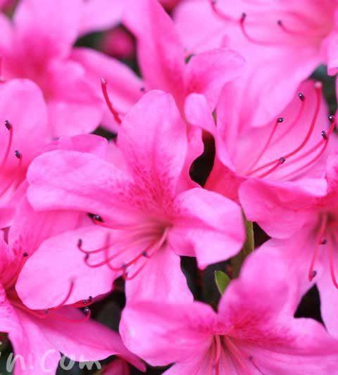 サツキ(さつき)の花の写真・サツキの花言葉