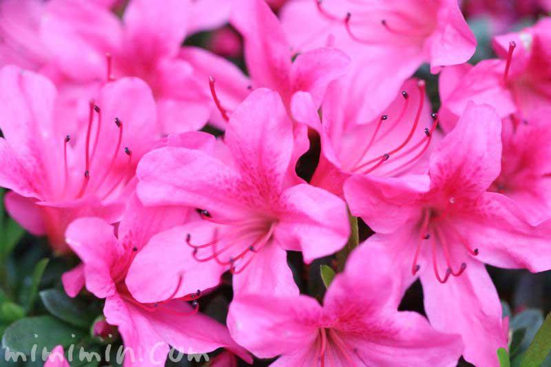 サツキ(ピンク)の写真と花言葉の画像