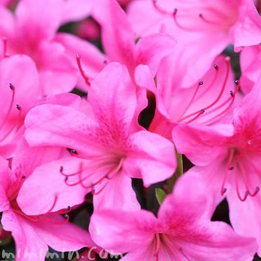 サツキ(ピンク)の花の写真と花言葉の画像