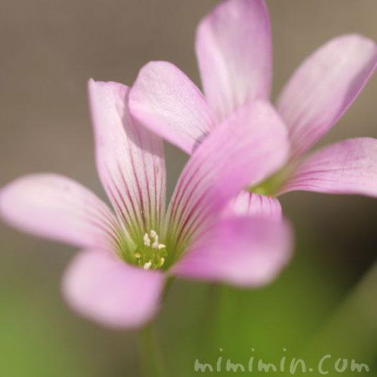 ムラサキカタバミの花の写真