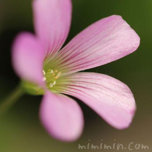 紫片喰の花の画像