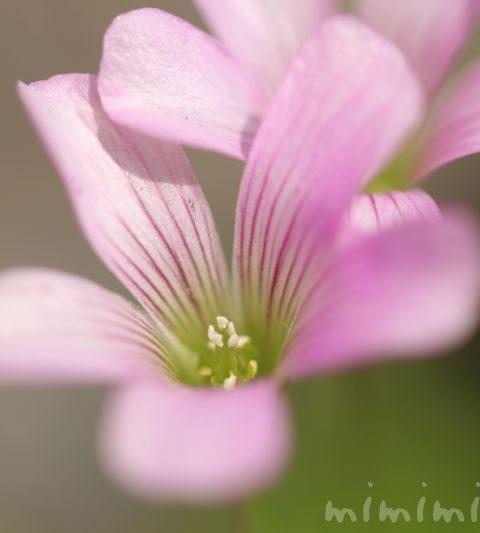 ムラサキカタバミの花の写真・花言葉・名前の由来