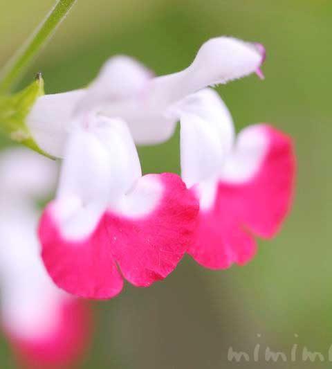 チェリーセージの花の写真・花言葉・名前の由来