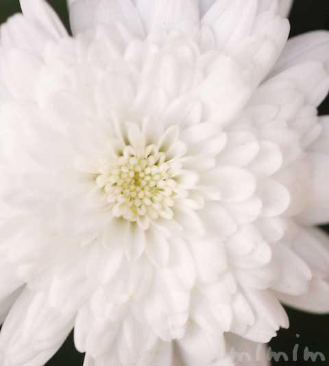 八重咲きのマーガレット(花の写真&花言葉)