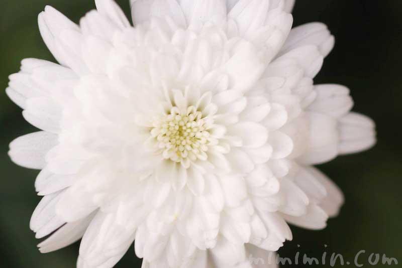 八重咲きのマーガレットの花の写真&花言葉の画像