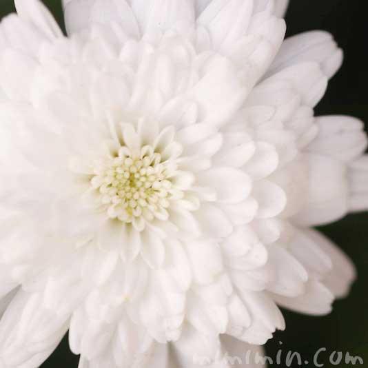 八重咲きのマーガレットの写真&花言葉の画像