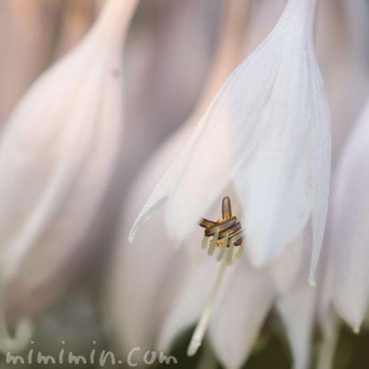 ギボウシの花の写真