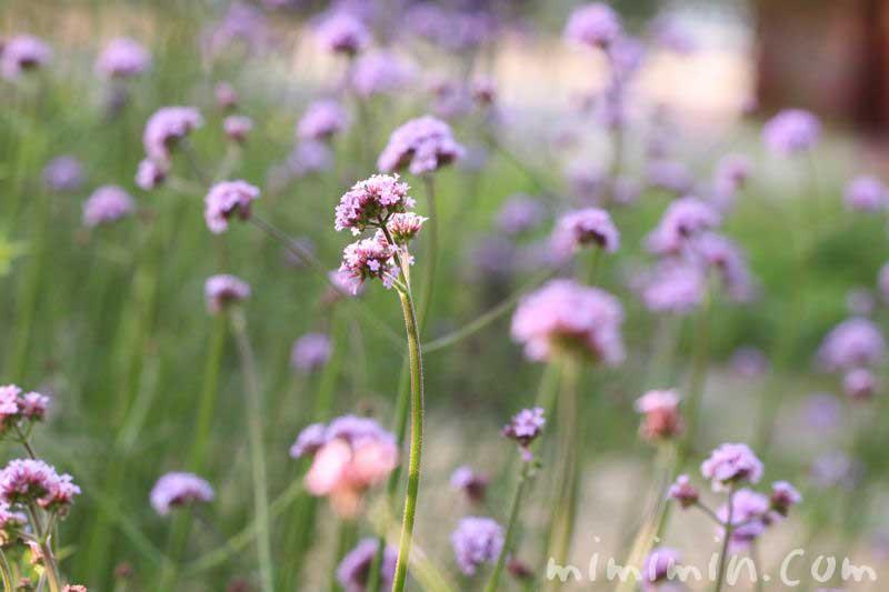 柳花笠の花言葉の画像
