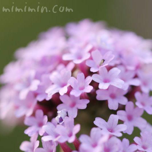 柳花笠の花の写真