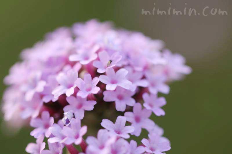 ヤナギハナガサの花