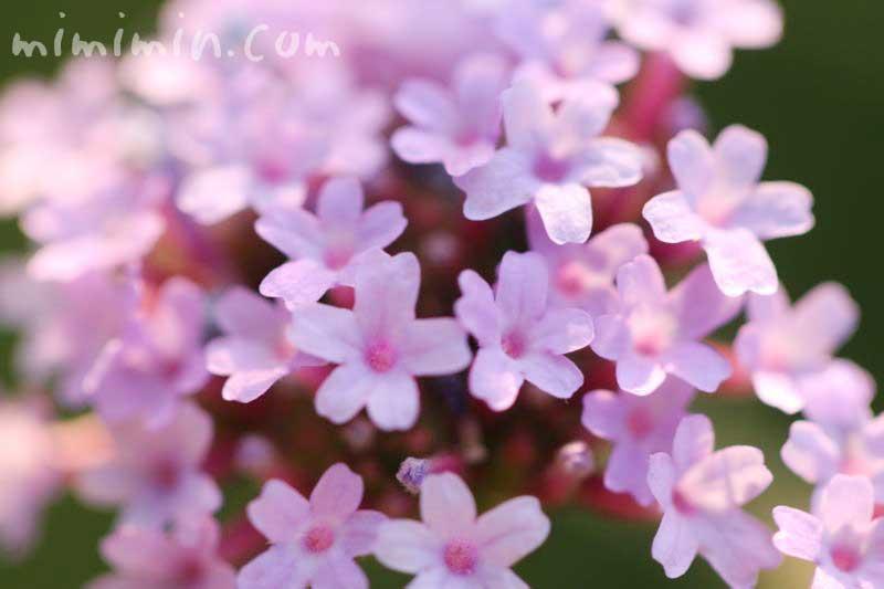 柳花笠の花