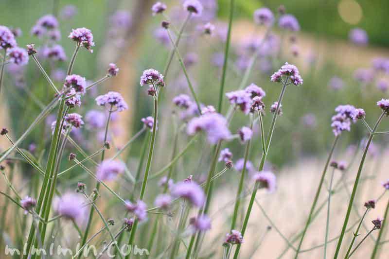 柳花笠の花言葉