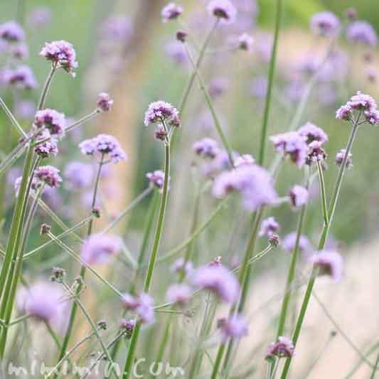ヤナギハナガサの花の写真