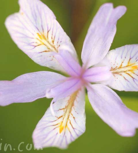ヒメシャガの花の写真・花言葉・名前の由来
