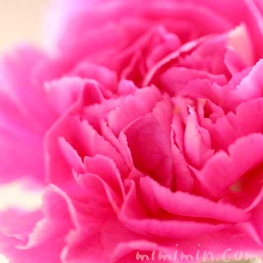カーネーションの花言葉・濃いピンク色のカーネーションの花の写真の画像