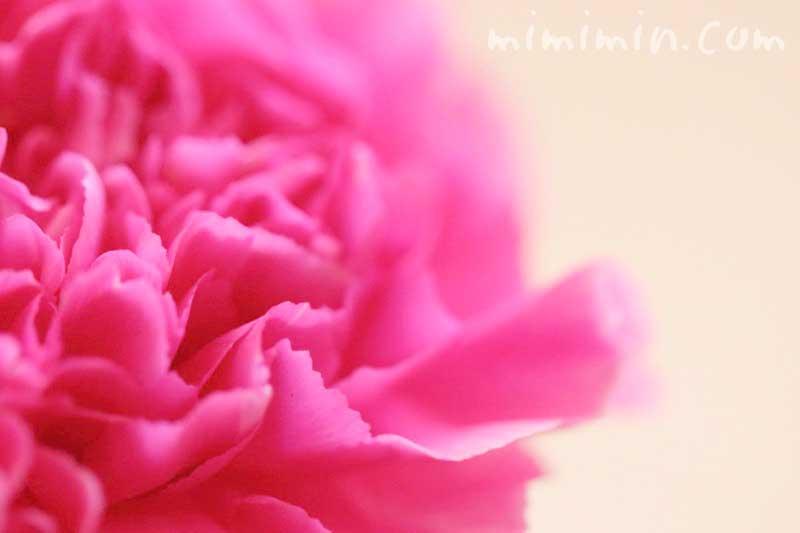 カーネーションの花言葉・ピンクのカーネーションの写真