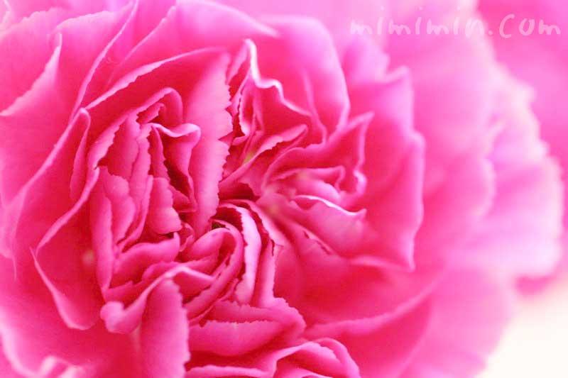 カーネーションの花言葉・ピンク色のカーネーションの写真の画像