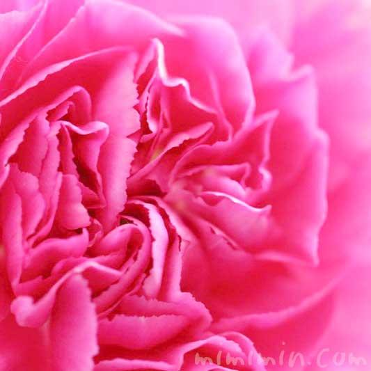 カーネーションの花言葉・誕生花・濃いピンクのカーネーションの花の写真の画像