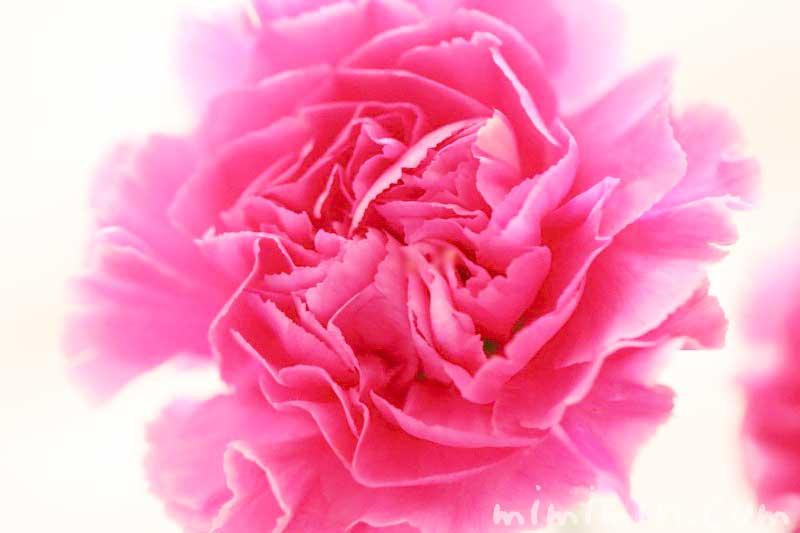 カーネーションの花言葉・ピンク色のカーネーションの花の写真
