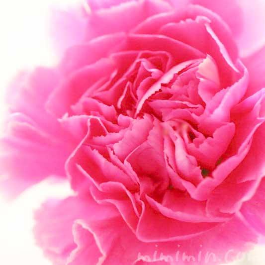 カーネーションの花言葉・濃いピンクのカーネーションの花の写真