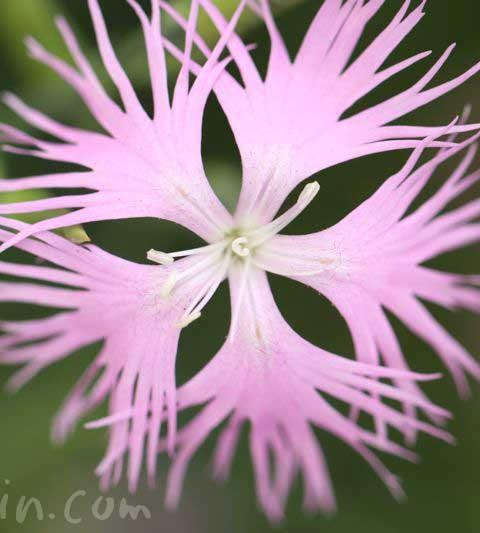 カワラナデシコ(河原撫子)の花の写真・花言葉・名前の由来