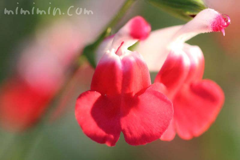 チェリーセージ・赤白の花の画像