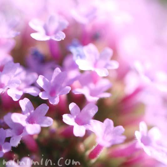 三尺バーベナの花