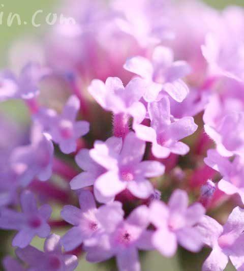 柳花笠(ヤナギハナガサ)の花の写真・花言葉・名前の由来