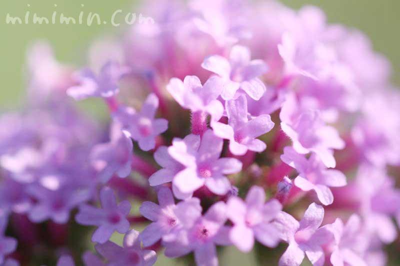 三尺バーベナの花の写真
