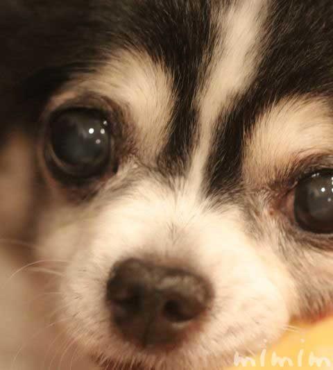 ワンコの鼻が乾いてる|犬の鼻の乾燥は老化?