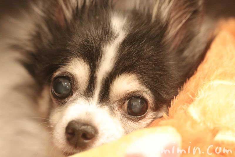 老犬の鼻がカサカサ