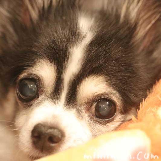 老犬の鼻がカサカサの画像