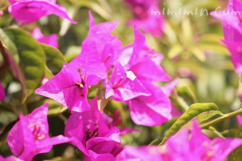 ブーゲンビリア(ピンク)の写真と花言葉の画像