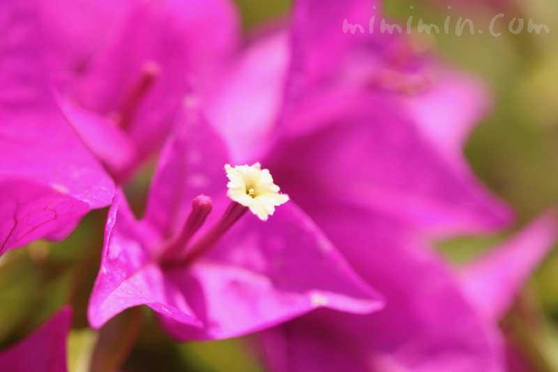 ブーゲンビリアの写真と花言葉の画像