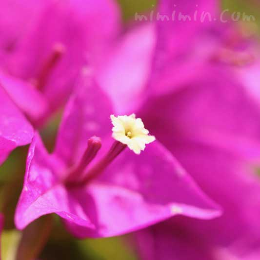 ブーゲンビリアの花の写真と花言葉の画像