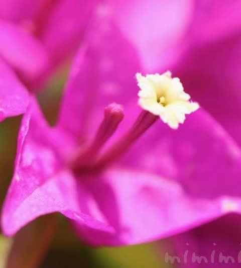 ブーゲンビリアの花言葉・名前の由来・花の写真
