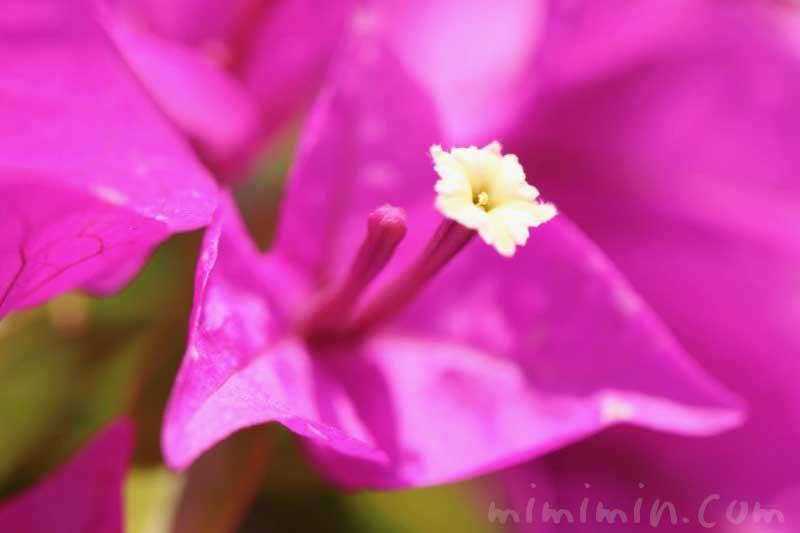 ブーゲンビリアの花の写真 花言葉